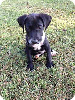 Labrador Retriever Mix Puppy for adoption in Hartsville, Tennessee - Emerson