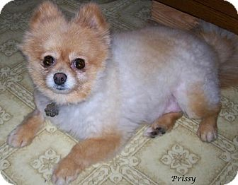 pomeranian rescue in florida jacksonville fl pomeranian meet prissy a dog for adoption 2230