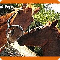 Adopt A Pet :: Pepe - Farmersville, TX