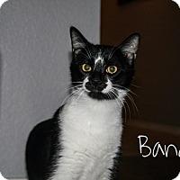 Adopt A Pet :: Bandit - Bentonville, AR
