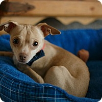 Chihuahua Mix Dog for adoption in West Richland, Washington - Joshi