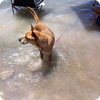 Adopt A Pet :: Chloe (located in FL) - Cranston, RI