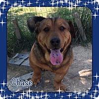 Adopt A Pet :: Chase (POM-CD) - Brattleboro, VT