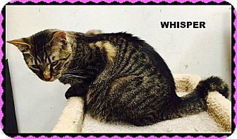 Domestic Shorthair Cat for adoption in Fenton, Missouri - Whisper