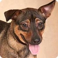 Adopt A Pet :: Major - Chicago, IL