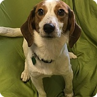 Adopt A Pet :: Bridgett - Rochester, NY