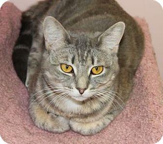 Domestic Shorthair Cat for adoption in Lunenburg, Massachusetts - Trans Am