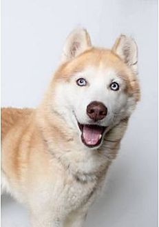 Siberian Husky Dog for adoption in Minerva, Ohio - Meeka Moo