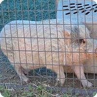 Adopt A Pet :: BILLY - Jackson, CA