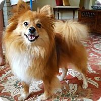 Adopt A Pet :: King Pom - Santa Rosa, CA