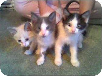 Domestic Shorthair Kitten for adoption in Proctor, Minnesota - Ali, Yuma and Sensai