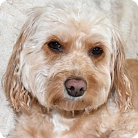 Adopt A Pet :: Chloe the Cavapoo - Chicago, IL