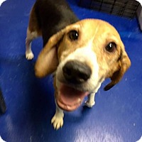 Adopt A Pet :: Old Telegraph Beagle - New Kent, VA