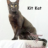 Colorpoint Shorthair Cat for adoption in Oklahoma City, Oklahoma - Kit Kat