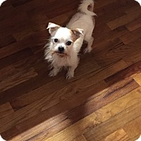 Jack Russell Terrier/Yorkie, Yorkshire Terrier Mix Dog for adoption in Waynesboro, Tennessee - Ninja