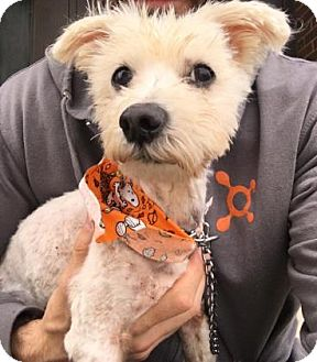 Maltese Mix Dog for adoption in Chicago Heights, Illinois - Slinky