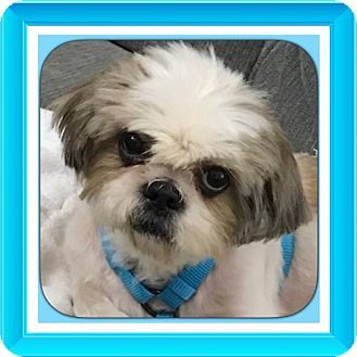 Shih Tzu/Poodle (Miniature) Mix Dog for adoption in Dallas, Texas - Biscuit