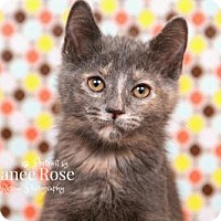 Adopt A Pet :: Chai - Sterling Heights, MI