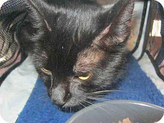 Domestic Mediumhair Cat for adoption in San Antonio, Texas - SALEM