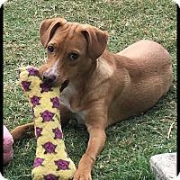 Adopt A Pet :: Joey - Buda, TX