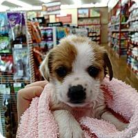 Terrier (Unknown Type, Medium) Mix Puppy for adoption in Lakeport, California - Sasha's Tatiana