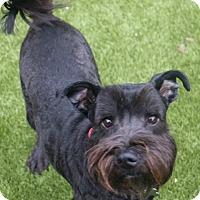 Adopt A Pet :: Scout - Woonsocket, RI
