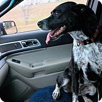 Adopt A Pet :: Barley - Fredericksburg, VA