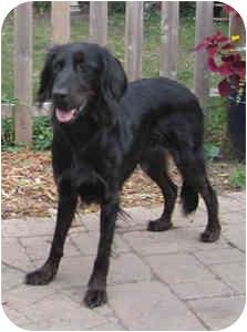 Lucy Adopted Dog Dekalb Il Gordon Setter Irish
