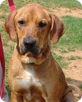 Redbone coonhound mix