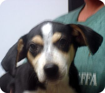 Beagle Mix Dog for adoption in baltimore, Maryland - Adam