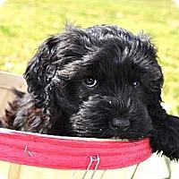 Adopt A Pet :: *Kit Kat - PENDING - Westport, CT