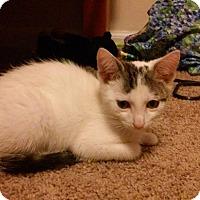 Adopt A Pet :: Pinto Bean - Fairborn, OH