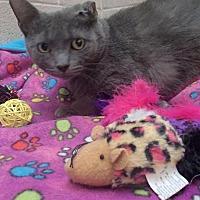 Domestic Shorthair Cat for adoption in Lima, Ohio - Petunia Pig