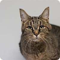 Adopt A Pet :: Tabby Pat - Chicago, IL