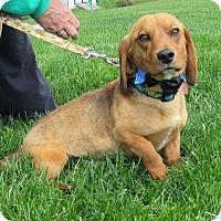 Adopt A Pet :: Drake - New Oxford, PA