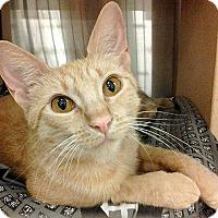 Domestic Shorthair Kitten for adoption in San Juan Capistrano, California - Lucy