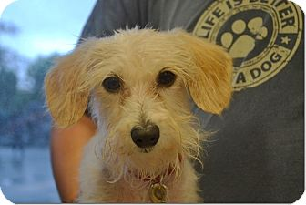 Schnauzer (Standard)/Terrier (Unknown Type, Small) Mix Dog for adoption in Tavares, Florida - Courage