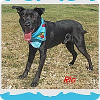 Labrador Retriever/Shepherd (Unknown Type) Mix Dog for adoption in Hillsboro, Texas - Rio
