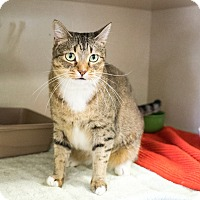 Domestic Shorthair Cat for adoption in Montclair, California - Stella Rose