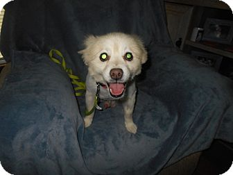 Pomeranian Dog for adoption in Kannapolis, North Carolina - Shelton  -Adopted!