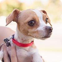 Adopt A Pet :: Cookie - Oakley, CA