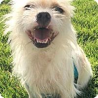 Adopt A Pet :: Sarge - Boulder, CO