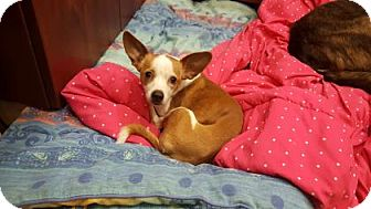 Chihuahua Mix Dog for adoption in Scottsdale, Arizona - Penny