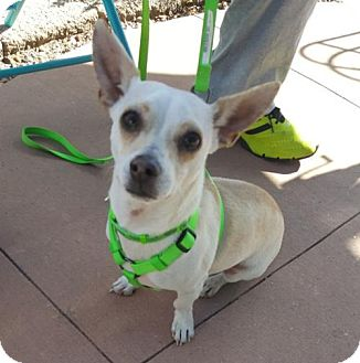 Chihuahua/Dachshund Mix Puppy for adoption in Evergreen, Colorado - Takoda - missing hind leg