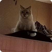 Domestic Longhair Cat for adoption in Brea, California - SMORES