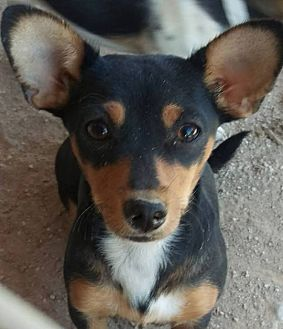 Rat Terrier Mix Dog for adoption in Las Vegas, Nevada - Precious