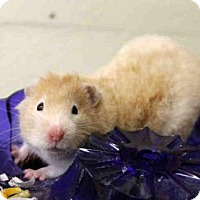 Hamster for adoption in San Francisco, California - DORI