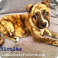 Adopt A Pet :: Nicolas - Toledo, OH