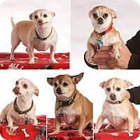 Adopt A Pet :: The Five Chihuahua-Mixes - San Francisco, CA