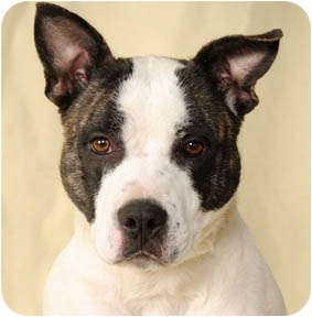 Molly | Adopted Dog | Chicago, IL | Akita/American ...